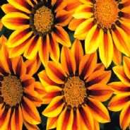 Gazania Day break - Red Stripe - 10 seeds